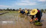 گزارش تصویری/ نشاء برنج در شالیزارهای گیلان به روش دستی