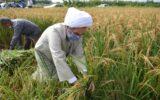 """""""برنج بینی"""" امام جمعه رشت در یکی از مزارع گیلان+ گزارش تصویری"""