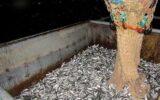 صید ماهی کیلکا از دریای خزر ممنوع شد
