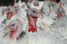 صادرات ۷۰ درصدی گوشت بوقلمون گیلان به دیگر استان ها