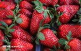 برداشت بیش از ۱۴۰۰ تن توت فرنگی در گیلان/ ۷۵۰ بهره بردار فعال هستند