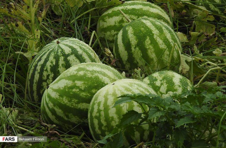 برداشت هندوانه در چاف قطب تولید هندوانه+ گزارش تصویری