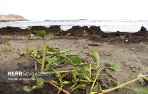 گزارش تصویری/ جلوه گری نابودگر ارغوانی تالاب ها در ساحل خزر